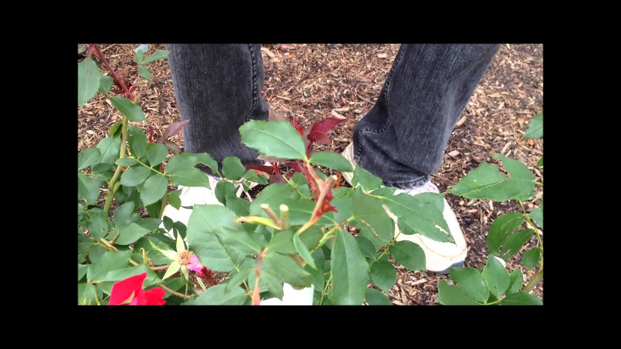 How to trim a rose bush - How To Prune Your Knockout Rose Bush