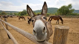 Funny Cute Donkey Compilation
