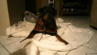 Funny Rottweiler Howling