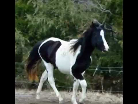 black and white tobiano tennessee walking horses for sale. Black Bedroom Furniture Sets. Home Design Ideas