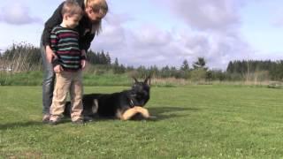Top Level Ipo3 Kraftwerk K9 Versatility Master German Shepherd Dog