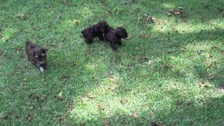Akc Registered Schnauzer Puppies