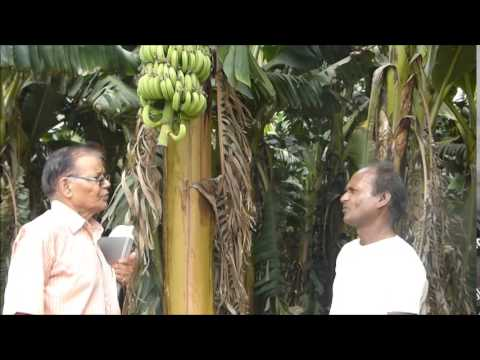 Tissue Culture raised Banana of Biotech Park, Lucknow