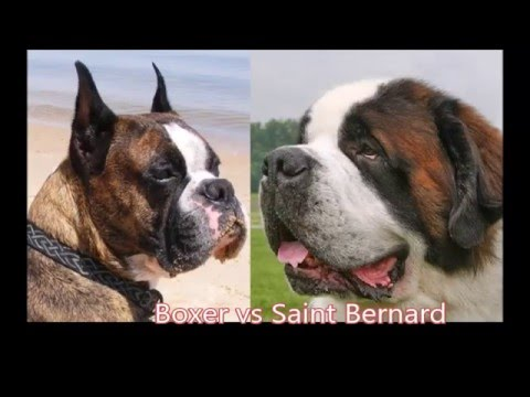 Boxer vs Saint Bernard