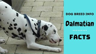 Dalmatian dog breed. All breed characteristics and facts about Damatian dogs.