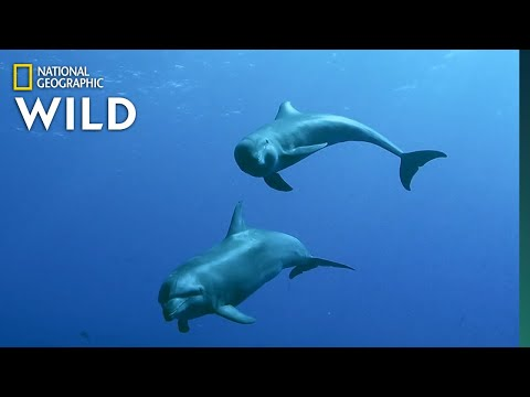 Mother Dolphin 'Adopts' Melon-headed Whale Calf and Raises Him Like a Bottlenose Dolphin