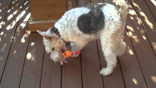 NORMAN THE WIRE FOX TERRIER - HE