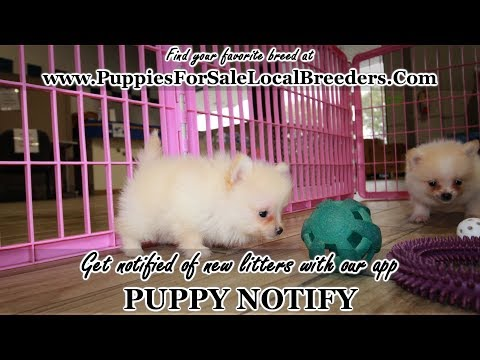TEACUP POMERANIAN PUPPIES FOR SALE, GEORGIA LOCAL BREEDERS, GWINNETT COUNTY, GA