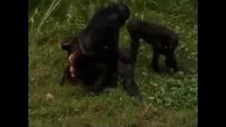 Сила любви шимпанзе