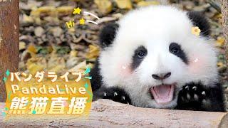 247 HD Panda Live