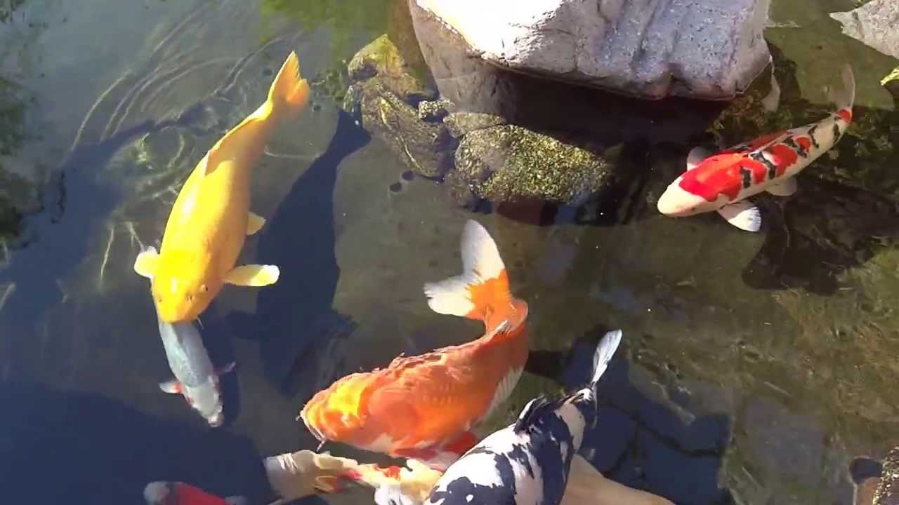 Moment of zen koi pond youtube for Carpe koi rare