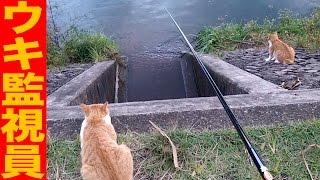 必釣ステッカーでオイカワ好釣 釣ったはじから猫が食う 健啖隊ウキ監視員小ニャゴラ River-fishing with a cat thumbnail