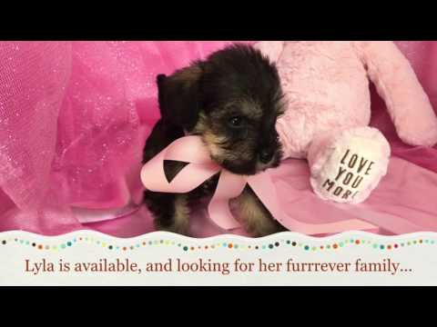 Lyla The Cocker Schnoodle Puppy For Sale In NC!
