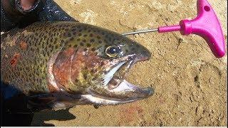 [IKEJIME] The Most Humane Way of Killing a Fish. Ikejime (Ike Jime) on Rainbow Trouts!