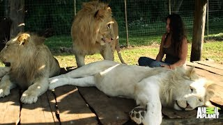 Lions Treat Woman Like the Leader of the Pride - 26-09-2015