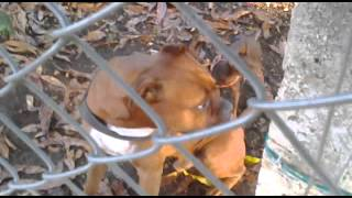 .doberman Pincher Y Boxer..mp4