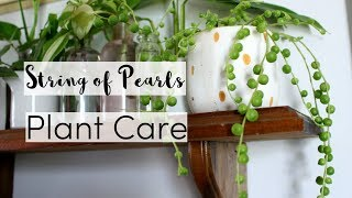 Скачать 7 Tips To Take Care Of A String Of Pearls Houseplant String Of Pearls Care Guide