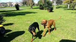 Dingo (rhodesian Ridgeback Argentina Del Criadero Doña Carolina) Y Frida Dobermann