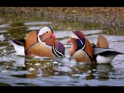mandarin ducks syncronized swimming youtube