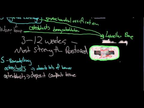 Mechanism of fracture healing.
