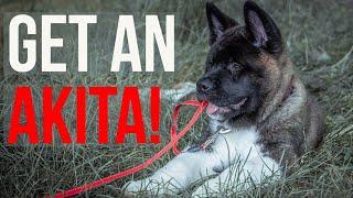 Akita Breeders: Where to Get an Akita Puppy   The Akita Life