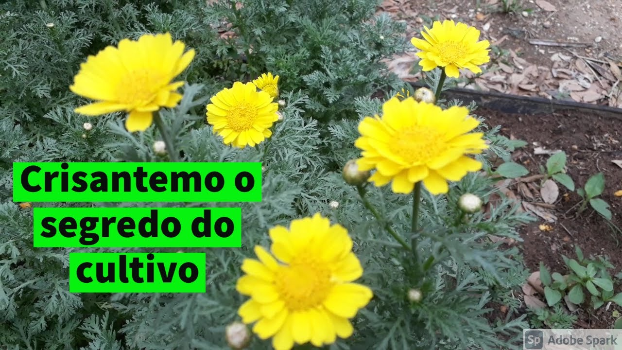Flor Crisantemo como plantar video 7