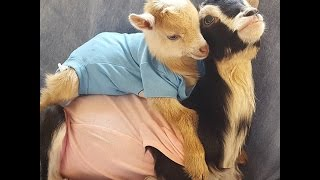 Injured Baby Goat Gets The Support And Love He Needs