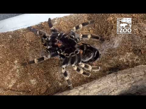 Red-kneed Tarantula Molting - Cincinnati Zoo