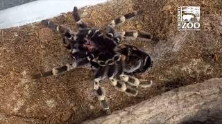 Red-kneed Tarantula Molting - Cincinnati Zoo
