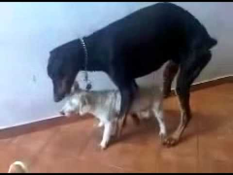 Animals Having Sex Breeding Reproducing Dogs Mating 4 ~ Best Funny Animals 2014