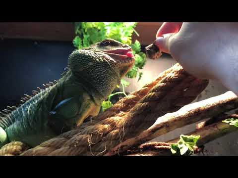 Adult Male Chinese Water Dragon Feeding