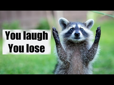 Try not to laugh or smile | Funny raccoon compilation 2017