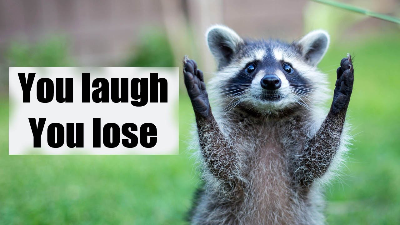 Download Try not to laugh or smile | Funny raccoon compilation 2017