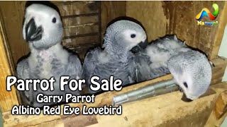 Parrot For Sale | Garry Parrot | Albino Red Eye Lovebird  Urdu/Hindi