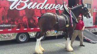 Loading up the Clydesdales