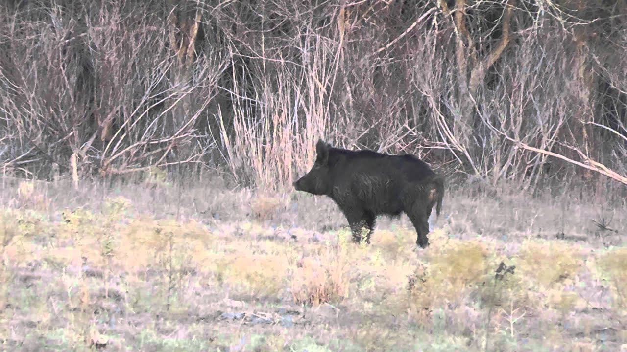 Big Wild Boar - YouTube Giant Wild Boar Photos