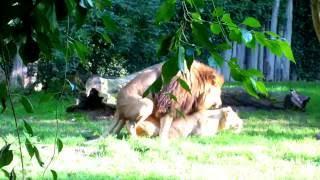 Löwensex - Löwen machen Liebe - Zoo Stralsund