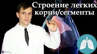 Анатомия легких, их корней и сегментов - meduniver.com