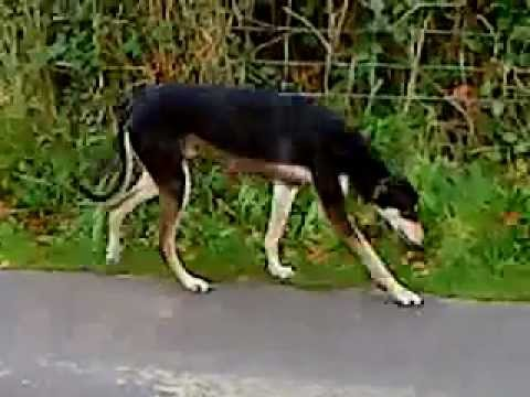 Zeus my long dog (Saluki x greyhound) R I P