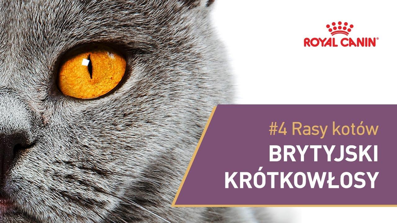 4 Rasy Kotów Kot Brytyjski Krótkowłosy Royal Canin Youtube