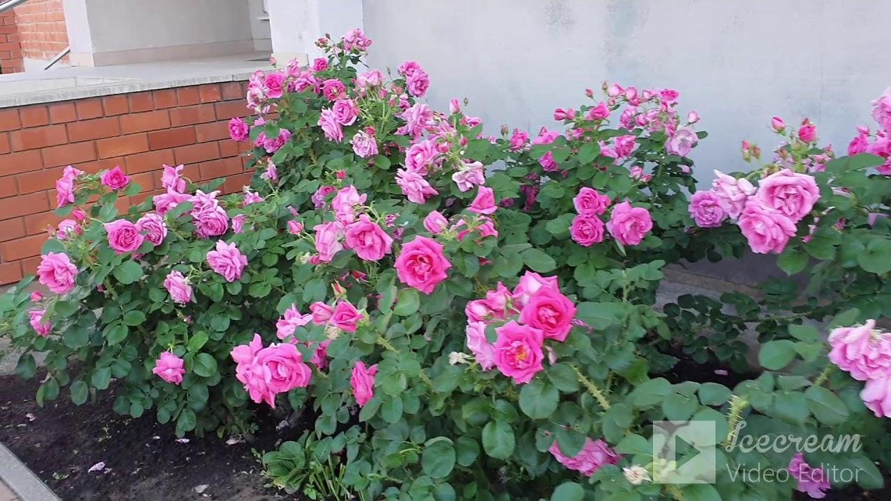 Приглашаю на прогулку по небольшому латвийскому поселку.Что растет и цветет  в июне.