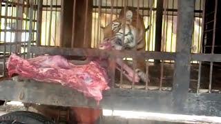 شاهد افتراس اسود ونمور تايجر لاند