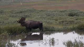 Moose in Beaver Pond - Bighorn National Forest - Wyoming