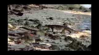 Biawak Pulau Kotok Besar