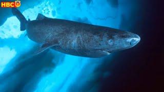🔥GREENLAND 500 TUỔI | Loài Cá Mập SỐNG THỌ NHẤT Trái Đất
