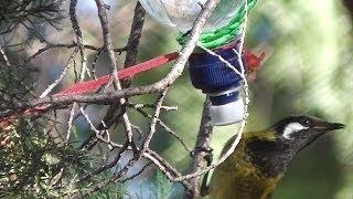 How To Make Nectar Feeder For Honeyeater Birds  ◔_◔  ✿