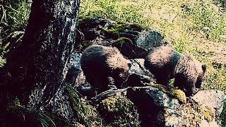 Медведи  медвежата национального Парка Зюраткуль. Урал. Видео: Колесников С. Городилов С.