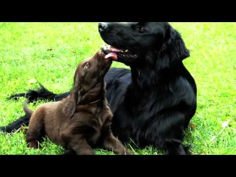Flat-coated retriever father and puppies II