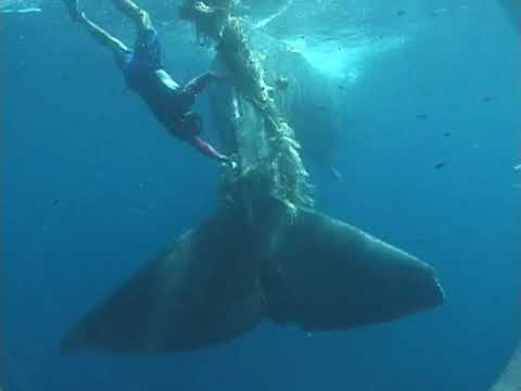 Whale Freed From  Driftnet