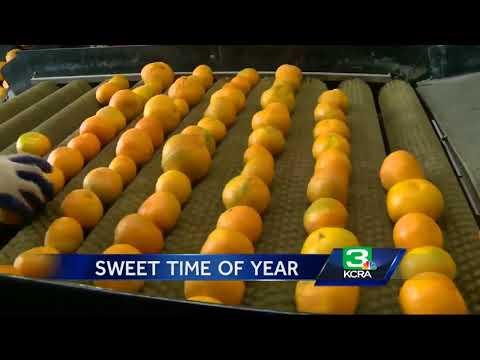 Farmers go to work harvesting mandarin crop
